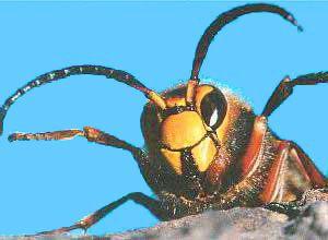 sterben hornissen nach stich
